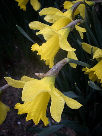 spring, poem, alison boylston piazza, forsythia, pussy willows, daffodils